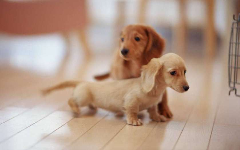 dachshund-pups-learning-to-walk-photo-u1